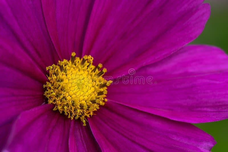 Fleurons jaunes de pétales roses photographie stock