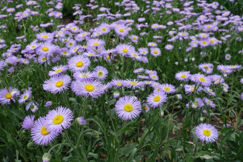 Fleurons jaunes environnants mauve de disque de fleurons de rayon de fleabane de tremble photographie stock libre de droits