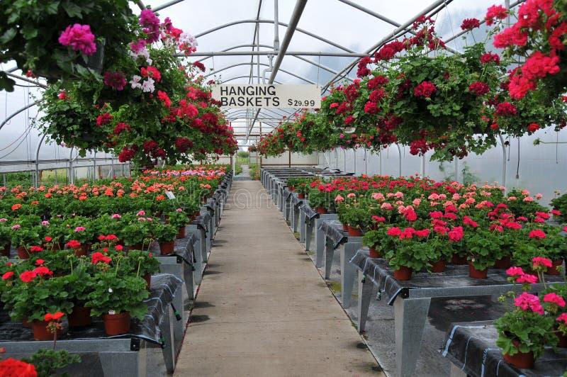 fleurs l 39 int rieur de p pini re de serre chaude image