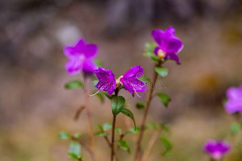 Fleurs à peine de floraison de maralnik de romarin sauvage dans le dialecte local dans Altai image libre de droits