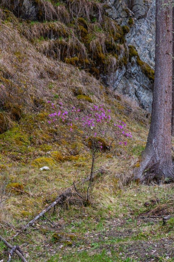 Fleurs à peine de floraison de maralnik de romarin sauvage dans le dialecte local dans Altai, Russie images libres de droits