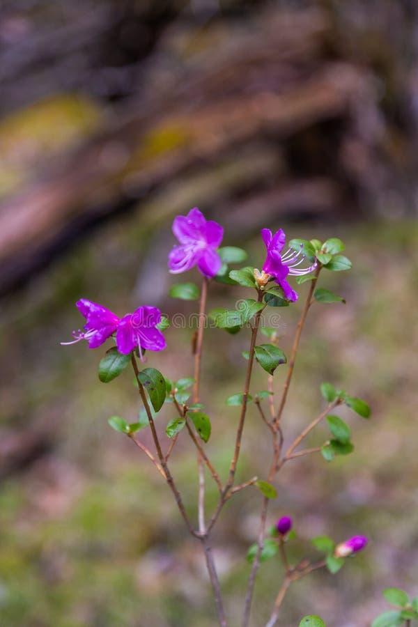 Fleurs à peine de floraison de maralnik de romarin sauvage dans le dialecte local dans Altai, Russie photos libres de droits