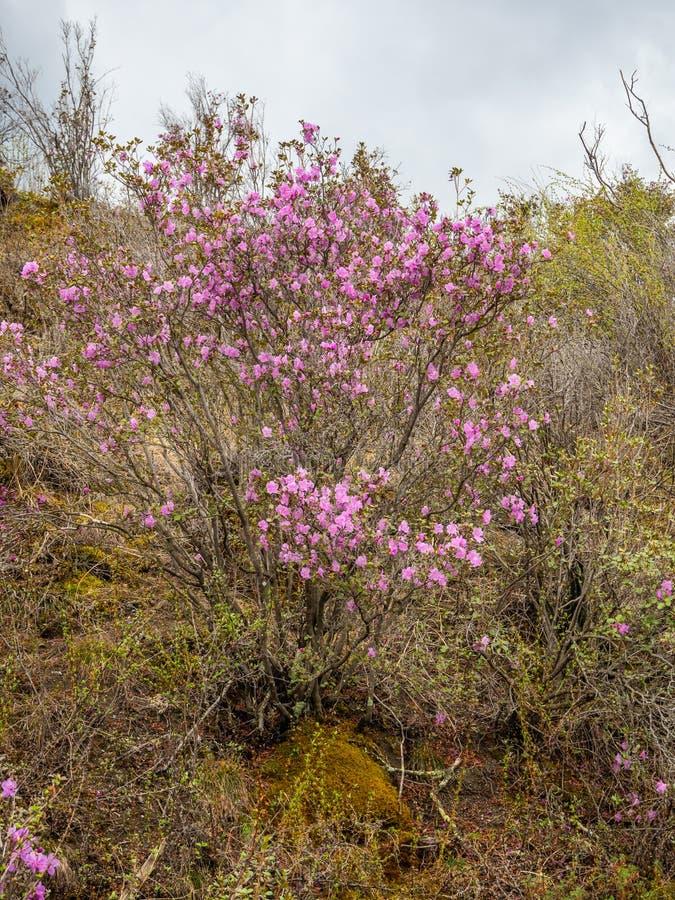 Fleurs à peine de floraison de maralnik de romarin sauvage dans le dialecte local dans Altai, Russie photographie stock