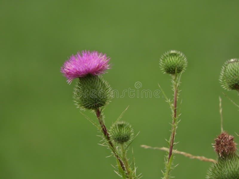 Fleurs écossaises de rose de chardon sur le fond vert photos stock