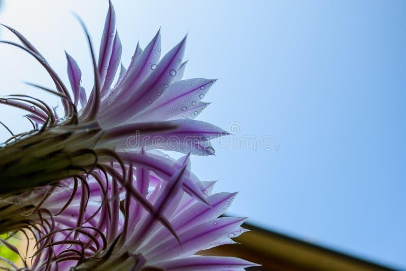 Fleurs éphémères de cactus image stock