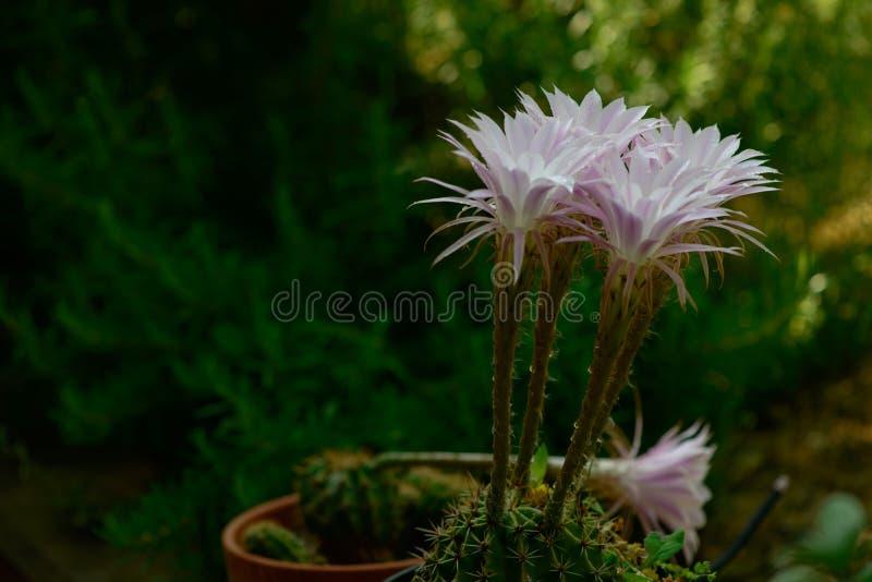 Fleurs éphémères de cactus images stock