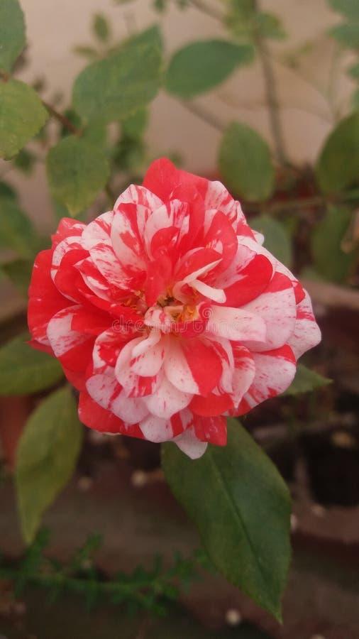 Fleurs étranges de coloration de mon jardin photographie stock