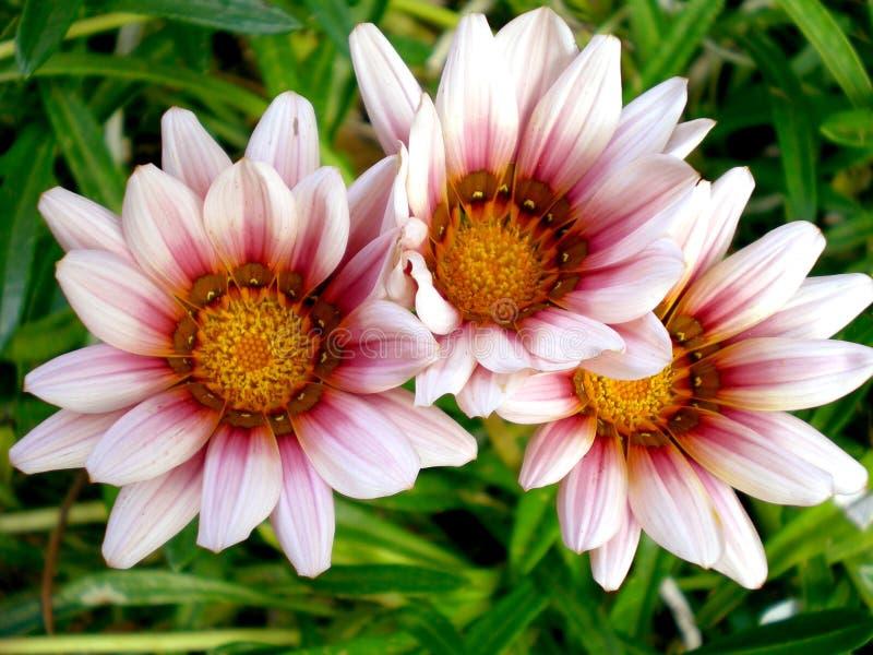Fleurs africaines de Gazania image libre de droits