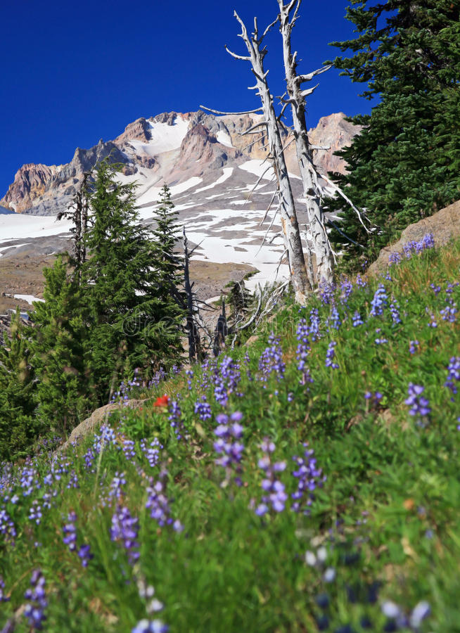 Fleurs alpestres et capot de Mt photographie stock libre de droits