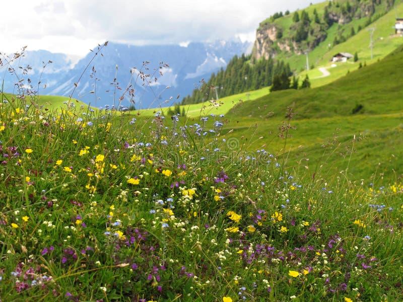 Fleurs alpines dans le premier plan avec le pré vert et le fond flou de montagnes photographie stock
