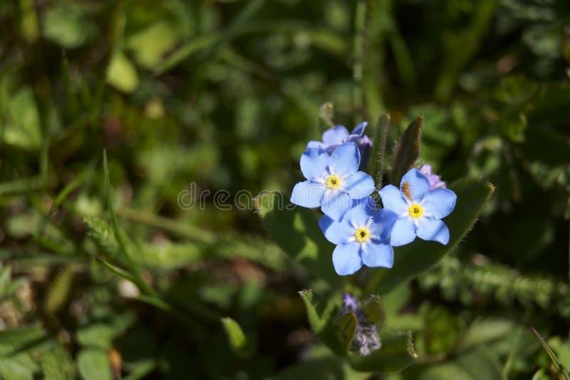 Fleurs alpines de myosotis - alpestris de Myosotis photos libres de droits