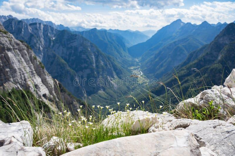 Fleurs alpines hautes dans Julian Alps, au-dessus de la vallée de Trenta entourée par les montagnes raides image stock