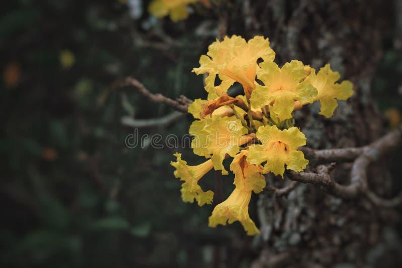 Fleurs argentées d'arbre de trompette fleurissant en parc image stock