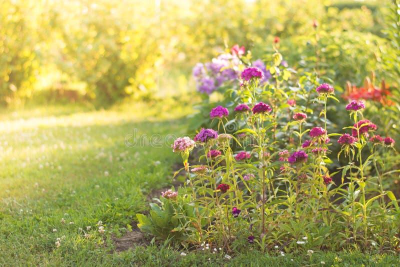 Fleurs au lever de soleil - fleurs et plan rapproché d'herbe photo stock