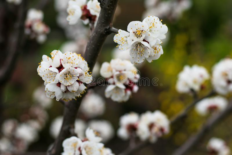 Fleurs au printemps Fond floral de nature Fond de fleur de ressort vacances, fond de P?ques Vue au ch?teau de patrimoine mondial  photographie stock libre de droits