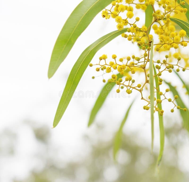 Fleurs australiennes d'acacia de ressort photo stock