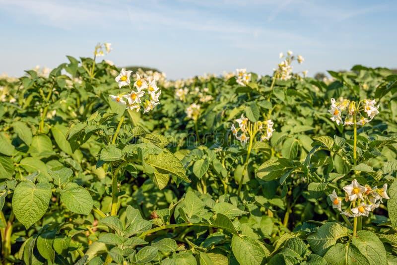 fleurs Blanc-jaunes des plantes de pomme de terre étroites photos libres de droits