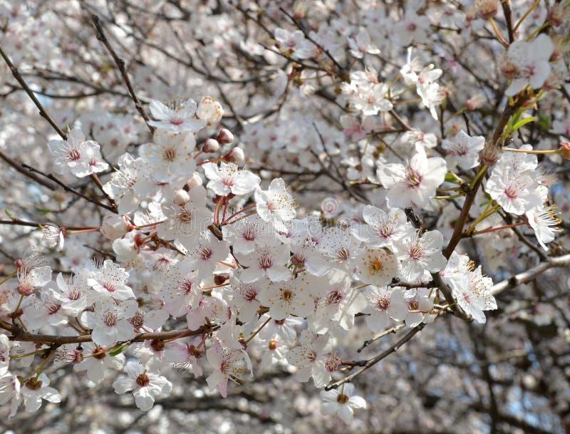 fleurs Blanc-roses de cerise sur une branche d'un cerisier de floraison photographie stock
