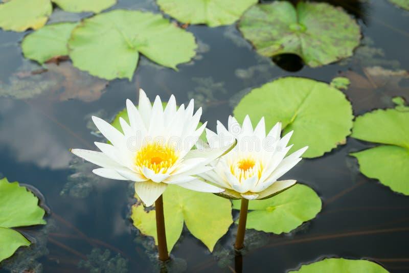 Download Fleurs blanches photo stock. Image du normal, aquatique - 76087736