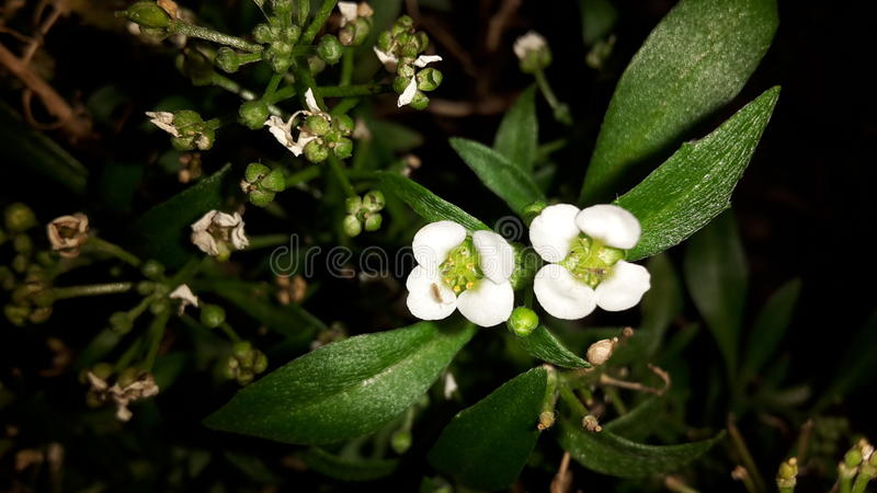 Fleurs blanches photographie stock