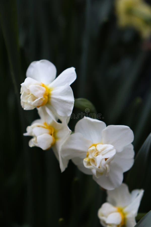 Fleurs blanches avec la branche verte photo libre de droits