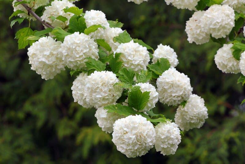 Fleurs blanches d 39 arbre de floraison de boule de neige - Arbre boule de neige ...