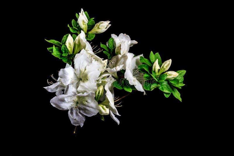 Fleurs blanches d'azalée avec le fond noir image libre de droits
