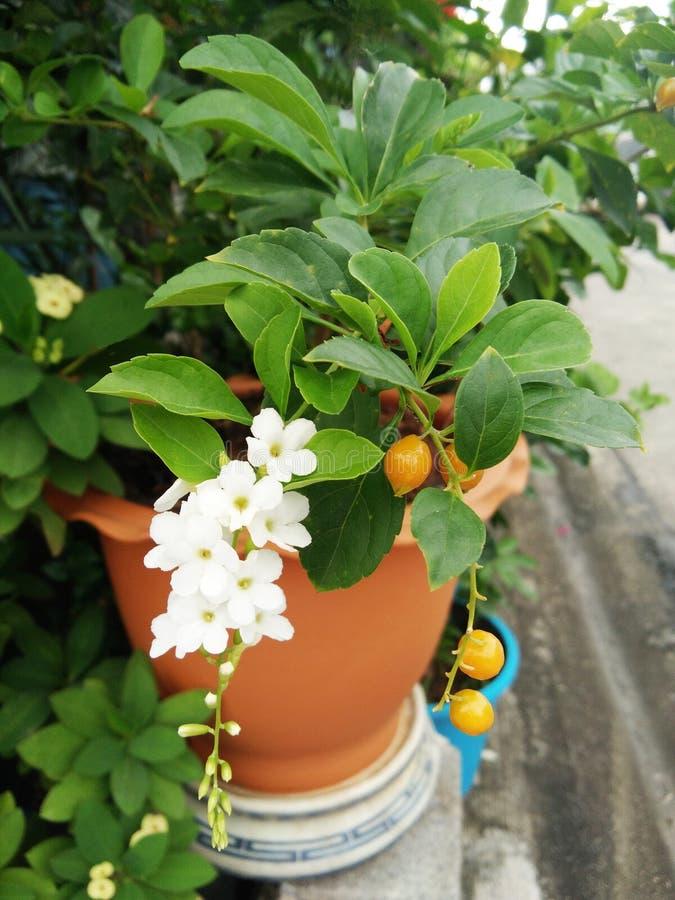 Fleurs blanches d'erecta de Duranta ou de goutte de rosée ou d'arbre d'or de Skyflower, fruits jaunes, baisse de bougie dans le n photographie stock libre de droits