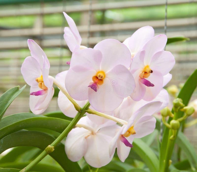 Fleurs blanches d'orchidée image stock
