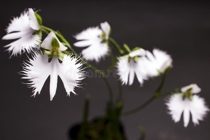 Fleurs blanches d'orchidée de héron images libres de droits
