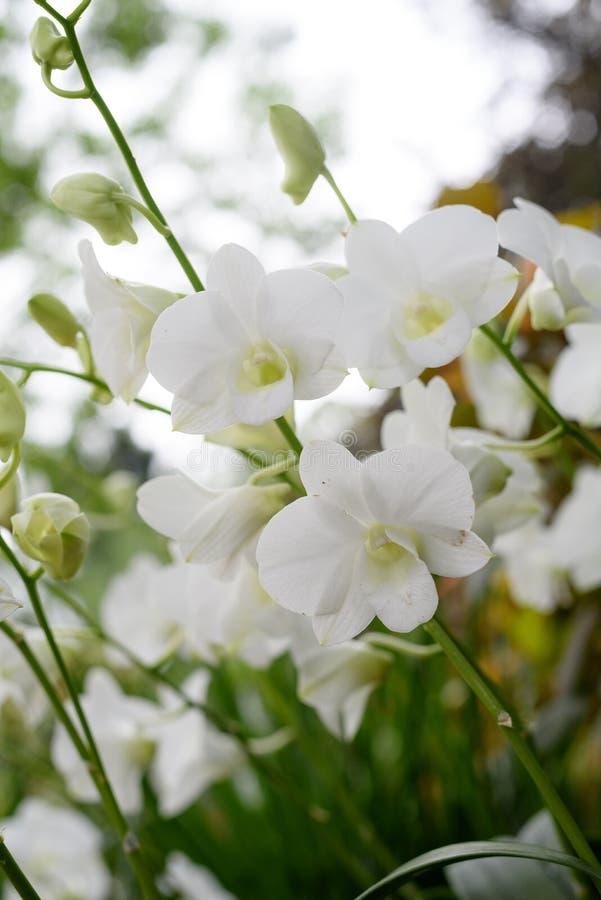 Fleurs blanches d'orchidée, Singapour photographie stock libre de droits