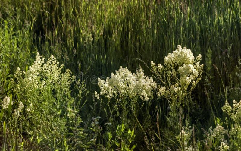 Fleurs blanches dans le domaine par l'herbe de rivière photographie stock