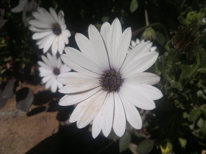 Fleurs blanches dans le jardin image libre de droits