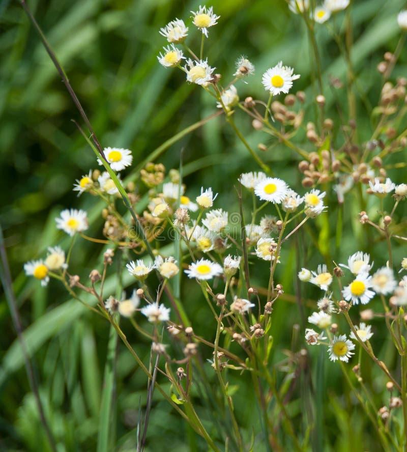 Fleurs blanches dans le pré photos stock
