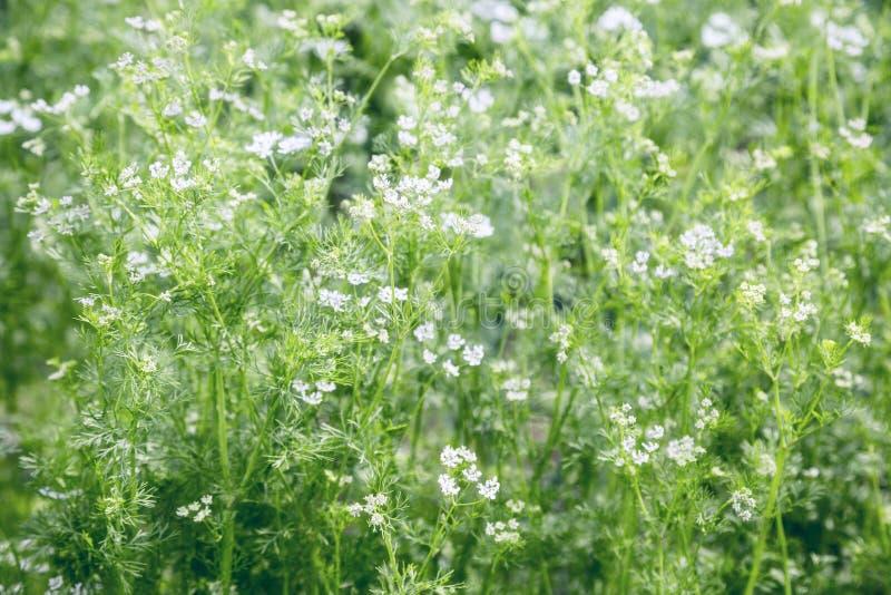 Fleurs blanches dans un champ photographie stock libre de droits