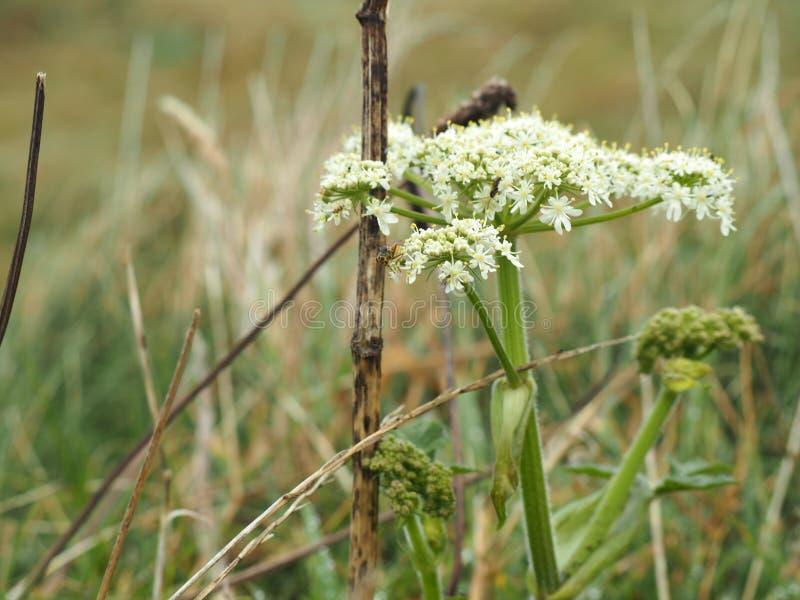 Fleurs blanches dans un marais image libre de droits