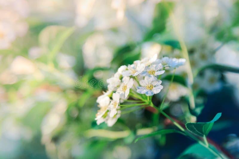 Fleurs blanches de buisson fleurissant de spirea photos libres de droits