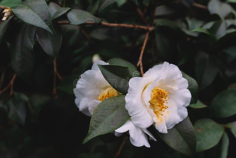 Fleurs blanches de camélia au-dessus des feuilles vert-foncé photos stock