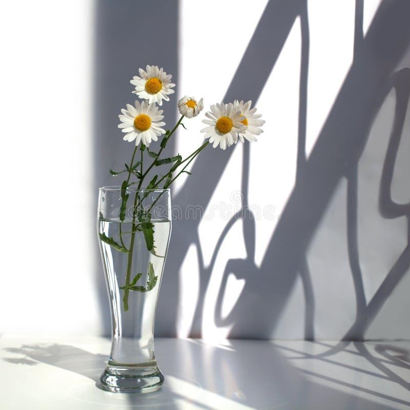 Fleurs blanches de camomille dans un vase en verre avec de l'eau sur un fond blanc au soleil et des ombres de courbes image stock