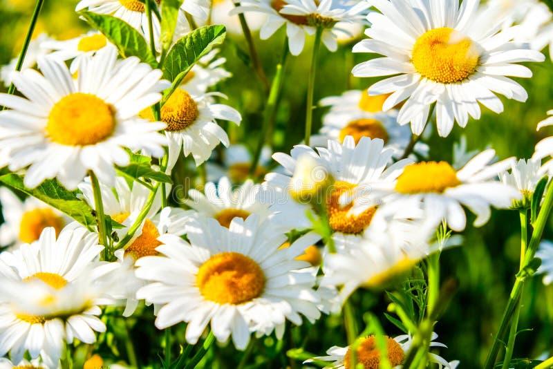 Fleurs blanches de camomille de Natual dans la forêt photo libre de droits