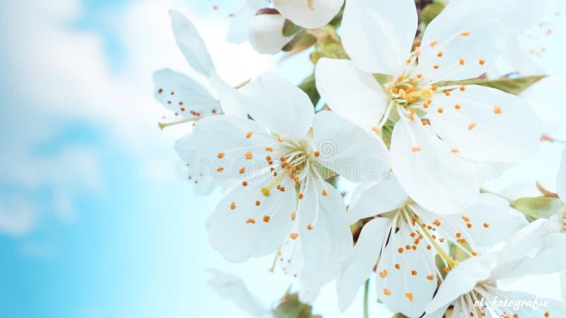 Fleurs blanches de cerise au ressort contre le ciel bleu photos stock