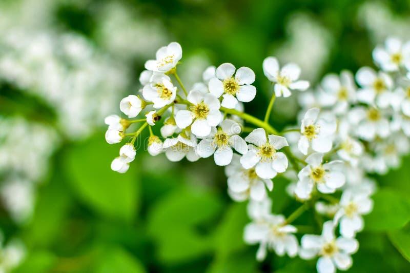Fleurs blanches de cerisier dans un verger photos libres de droits