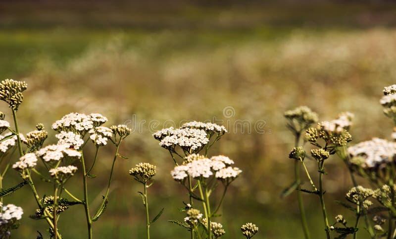 Fleurs blanches de champ images stock