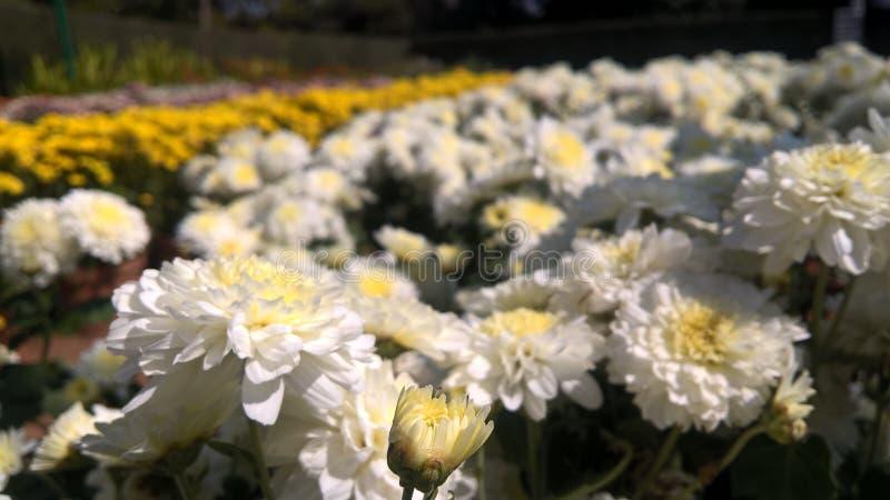 Fleurs blanches de chrysanthèmes images stock