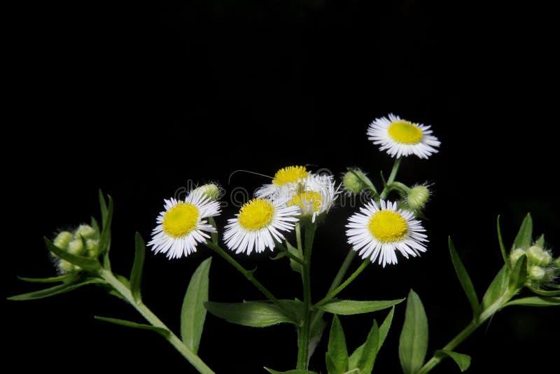 Fleurs blanches de chrysanthemum photographie stock libre de droits