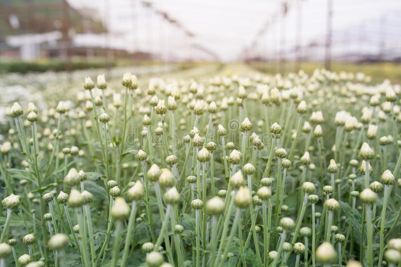 Fleurs blanches de chrysanthemum photographie stock