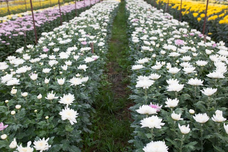 Fleurs blanches de chrysanthemum image libre de droits