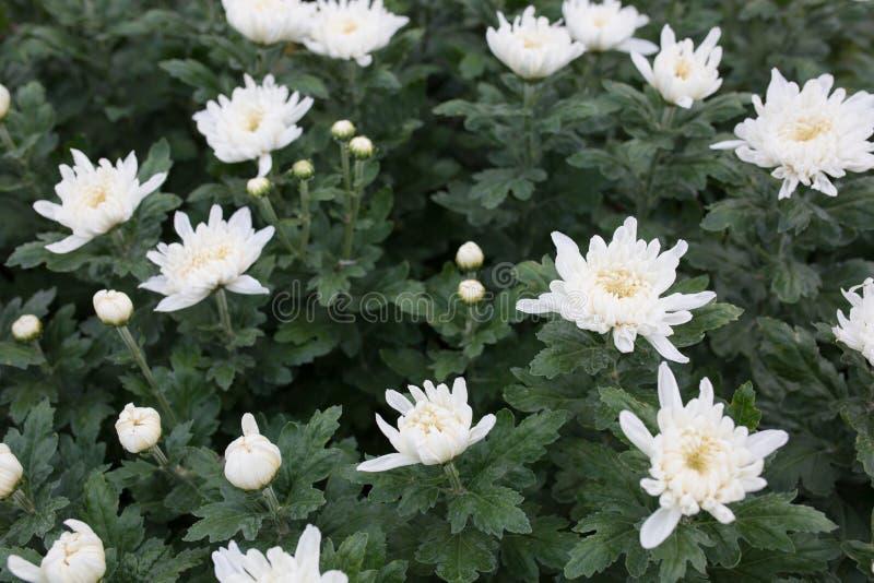 Fleurs blanches de chrysanthemum image stock
