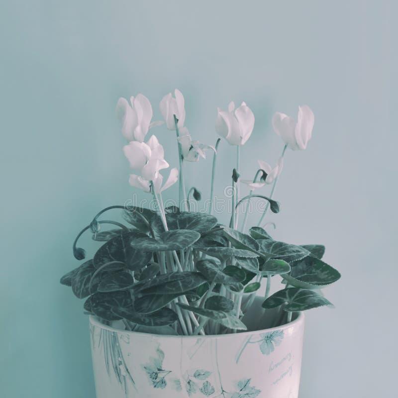 Fleurs blanches de cyclamen d'hiver photographie stock libre de droits