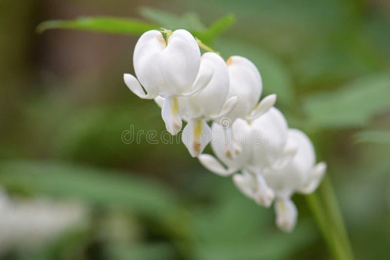 Fleurs blanches de défenseur de la veuve et de l'orphelin sur la vigne images stock